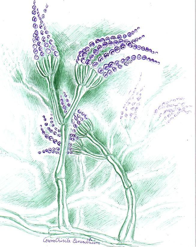 Flori de mucegai din specia Penicillium, desen facut cu pixul
