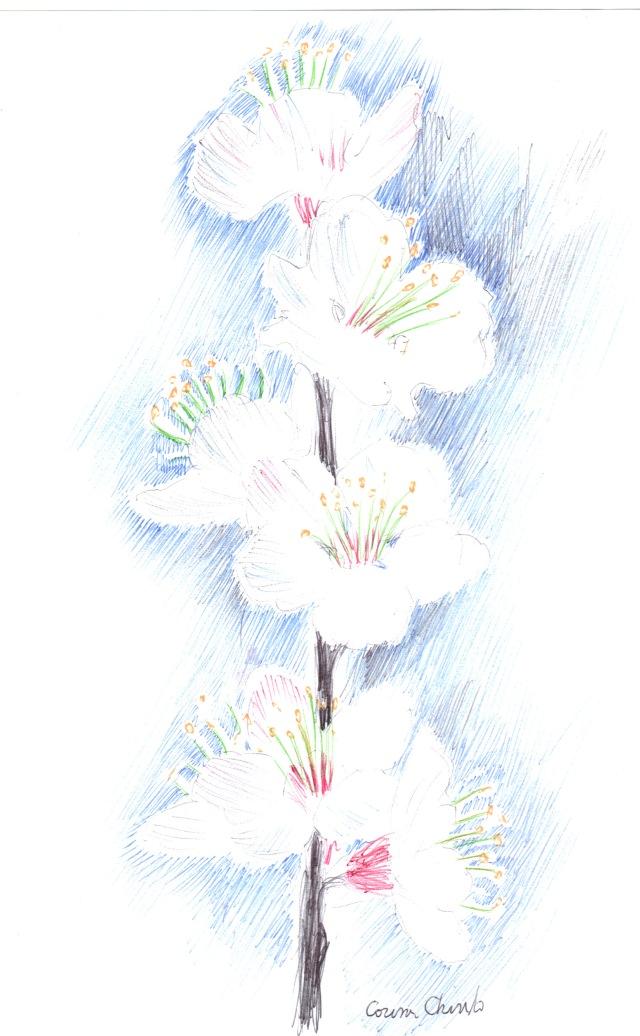 Cires de mai sau flori de cires desen facut cu pixul